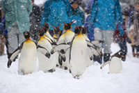 Penguin Walks