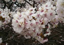 Japanese alpine cherry