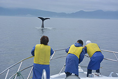 Rausu Whale Watching